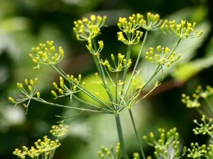 Dillpflanze