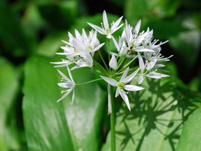 Bärlauchpflanze mit Blüte