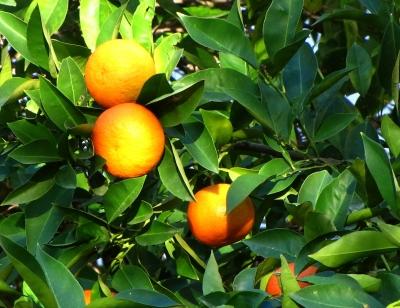 Apfelsinen_im_Baum Quelle Rainer Strum pixelio.de